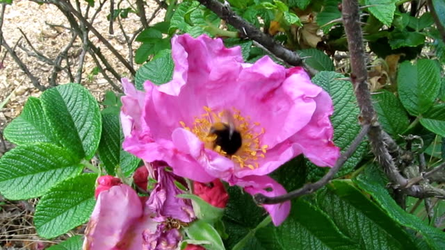 A striped, covered in soft hair bumblebee active gathers pollen in a beautiful pink flower of a wild rose - 23s video