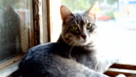 Striped, gray cat with yellow eyes on the window. Gray cat lying against the window video