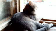 A cat sits on a windowsill in the colors on the background of the window. Striped, gray cat with yellow eyes sitting on the window video