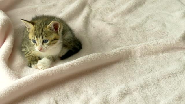 Striped kitten licking paws video