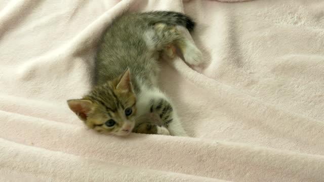 Striped kitten on pink blanket video