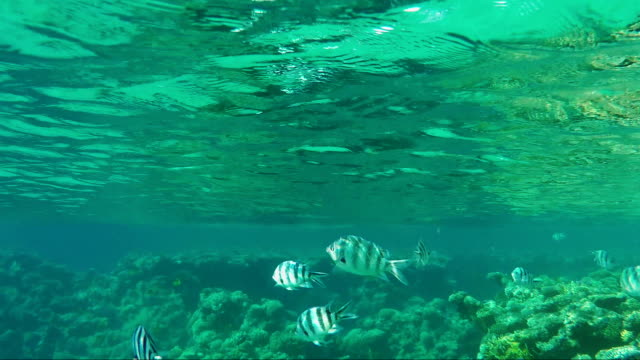 Striped Scissortail Sergeant fish are not deep beneath the surface of the water. Underwater video video