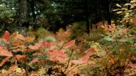 Stroll in autumn forest video