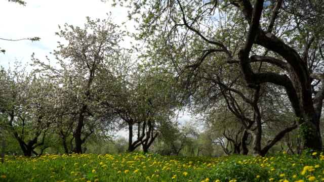 stroll through the blossoming Apple orchard video