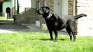 strong black Labrador Retriever guard dog barking - medium shot video