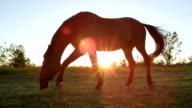 CLOSE UP LOW ANGLE: Strong brown horse gazing on meadow field at golden sunset video