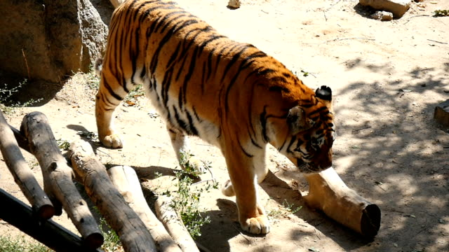 A strong tiger goes along some rocky ground covered with logs in slow motion video