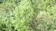 Strong wind in foliage of trees on the bank of the Gulf of Finland video