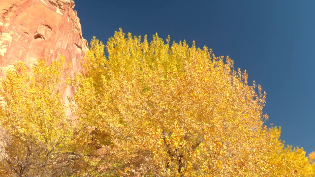 Stunning bright yellow tree canopies in sunny autumn in red rock canyon Utah video