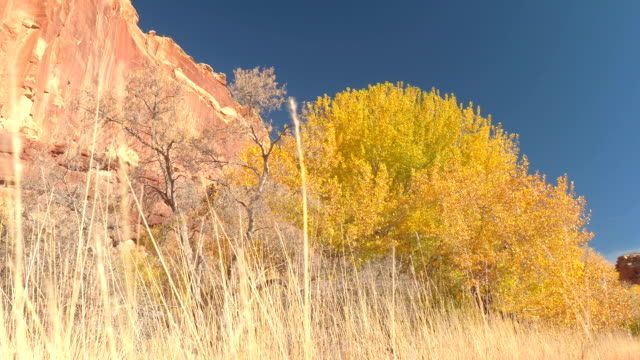 Stunning bright yellow trees in sunny autumn in dry red rock canyon Utah video