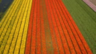AERIAL: Stunning colorful rows of rich flowering tulips on big vast field video