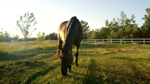 CLOSE UP: Stunning dark brown horse pasturing on countryside field at sunset video