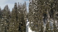 AERIAL, CLOSE UP: Stunning panorama of vast spruce forest covered in white snow video