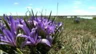 Stunning Purple Flowers With Herd Of Horses At Waterhole video