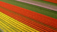 AERIAL: Stunning red, pink and yellow rows of rich blooming tulips on big field video