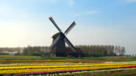 AERIAL: Stunning traditional windmill and field of tulips at keukenhof gardens video