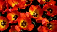 CLOSE UP: Stunning wide opened red blooming tulips swaying in gentle spring wind video