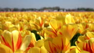CLOSE UP: Stunning yellow and red blooming tulips swinging in soft spring wind video