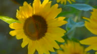 CLOSE UP: Stunning young yellow flowering sunflower turning to warm sun video