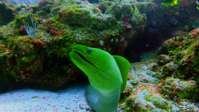 Suba Diving with green moray (Gymnothorax funebris) in Caribbean Sea - Belize Barrier Reef / Ambergris Caye video