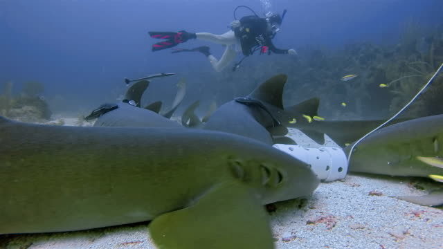 Suba Diving with nurse sharks feeding in Caribbean Sea - Belize Barrier Reef / Ambergris Caye video
