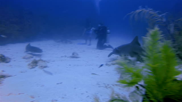 Suba Diving with nurse sharks in Caribbean Sea - Belize Barrier Reef / Ambergris Caye video