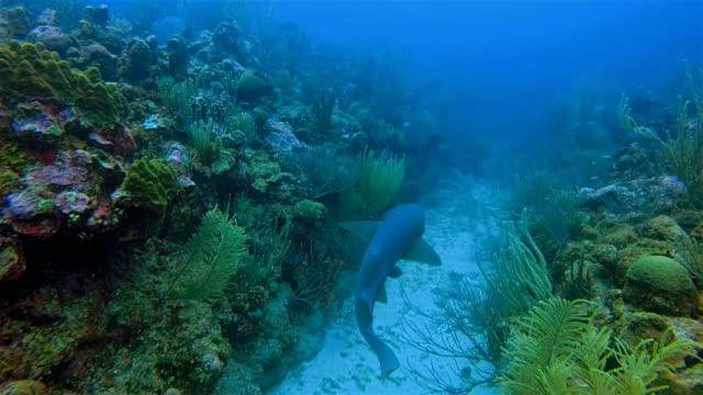 Suba Diving with nurse sharks on coral reef in Caribbean Sea - Belize Barrier Reef / Ambergris Caye video