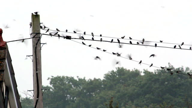 Suburban Swallows Getting Ready To Migrate From UK To Africa video