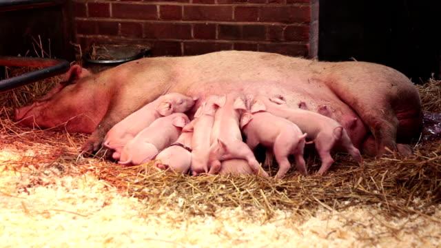 Suckling Pigs... video