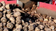 Sugar beet in the machine video