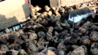Sugar beet in the processing video