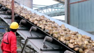 Sugar Beets Loading on Conveyor Belt video