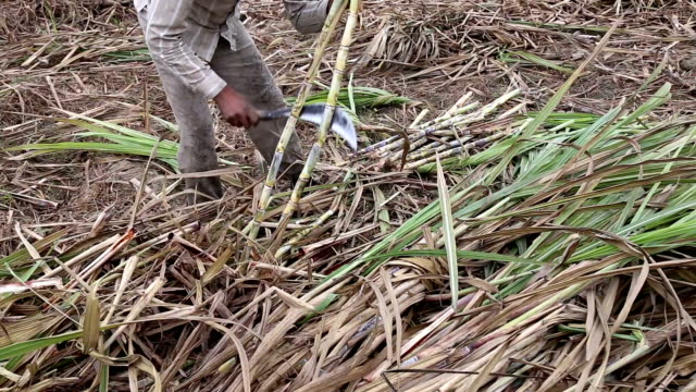 Sugar Cane farm in Harvesting with peel on the ground video
