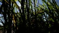 Sugar Cane field at sunrise. video