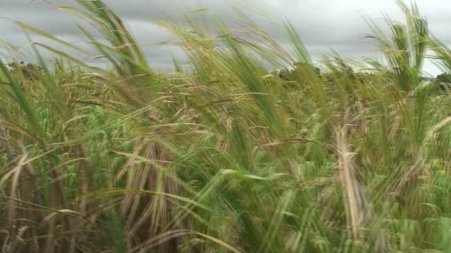 HD: Sugar Cane Field, Moving Tracking Shot video