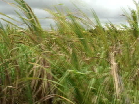 Sugar Cane Field, Moving Tracking Shot video