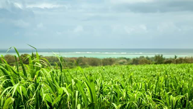 Sugar cane field video