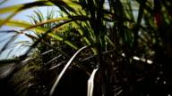 Sugar Cane field. video