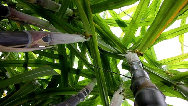 sugar cane fruit feild video