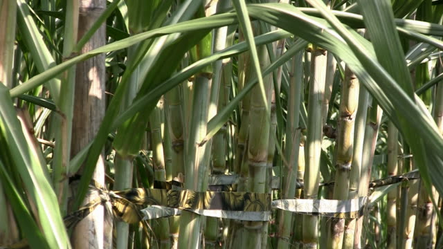 Sugar cane (zoom out) video