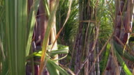 Sugar cane video