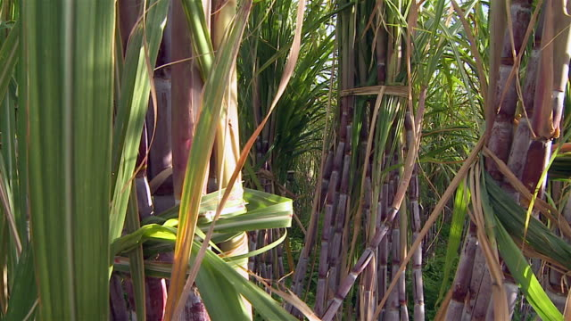 Sugar cane video