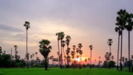 Sugar Palm Tree with green rice field as foreground in sky sunset , day to night twilight time lapse video