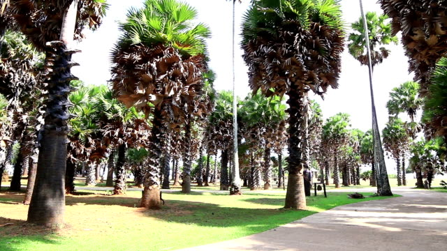 sugar palm video