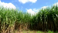 Sugarcane field video