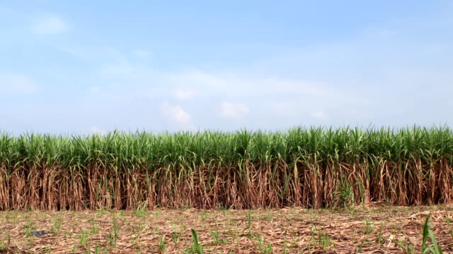 Sugarcane field:Time Lapse video