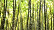 sugarcane plants in growth at field video