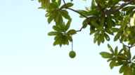 Suicide tree. video