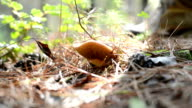 Suillus mushrooms picked up in forest in Israel. video