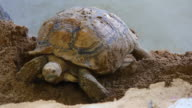 Sulcata Tortoise video